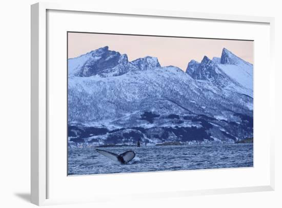 Humpback Whale (Megaptera Novaeangliae) Tail Fluke Above Water before Diving-Widstrand-Framed Photographic Print