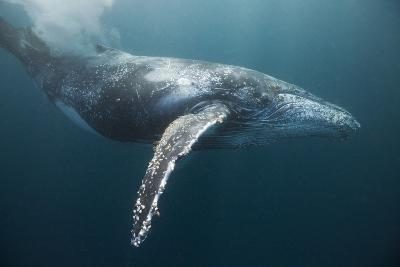 Humpback Whale (Megaptera Novaeangliae)-Reinhard Dirscherl-Photographic Print