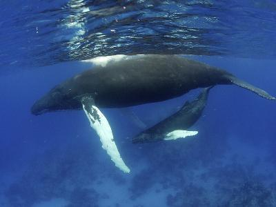 Humpback Whale Mother and Calf, Silver Bank, Domincan Republic-Rebecca Jackrel-Photographic Print
