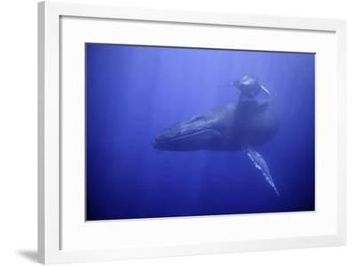 Humpback Whale Mother and Calf-DLILLC-Framed Photographic Print