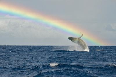 Humpback Whale Rainbow Breach-share your experiences-Photographic Print