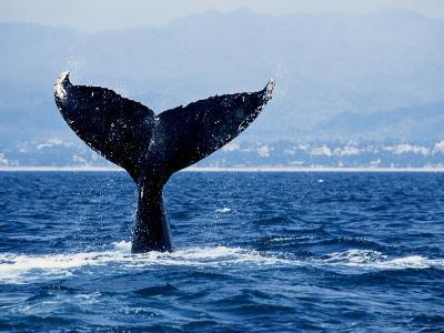 Humpback Whale, Raising Flukes-Gerard Soury-Photographic Print