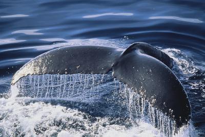 Humpback Whale's Tail Fluke-DLILLC-Photographic Print