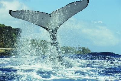 Humpback Whale's Tail-Alexis Rosenfeld-Photographic Print