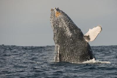 Humpback Whale, Sardine Run, Eastern Cape, South Africa-Pete Oxford-Photographic Print