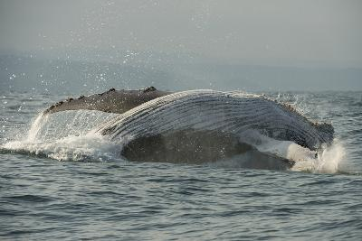 Humpback Whale, Sardine Run, Eastern Cape South Africa-Pete Oxford-Photographic Print