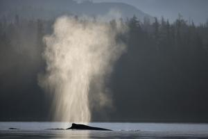 Humpback Whale Spouting in Frederick Sound at Dawn