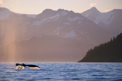 Humpback Whale Surfacing in Aialik Bay--Photographic Print