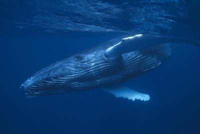 Humpback Whale Swimming-DLILLC-Photographic Print