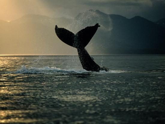 Humpback Whale Tail at Sunset-Stuart Westmorland-Photographic Print