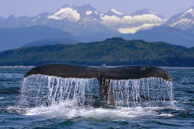 Humpback Whale Tail on Surface Just before Diving Inside Passage Alaska Southeast Summer-Design Pics Inc-Photographic Print