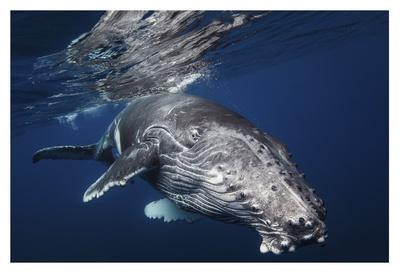 https://imgc.artprintimages.com/img/print/humpback-whale_u-l-f8wbji0.jpg?p=0
