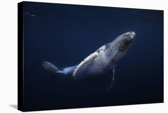 Humpback Whale-Barathieu Gabriel-Stretched Canvas Print