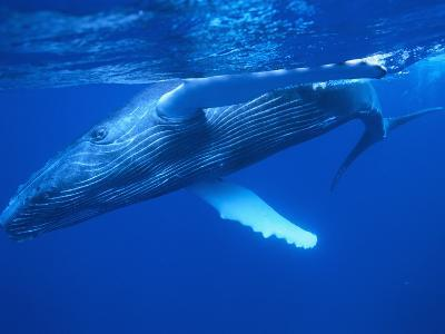 Humpback Whale--Photographic Print