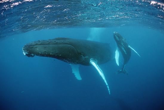 Humpback Whale-Reinhard Dirscherl-Photographic Print