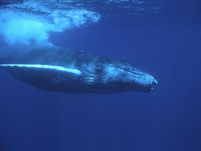 Humpback Whale-DLILLC-Photographic Print