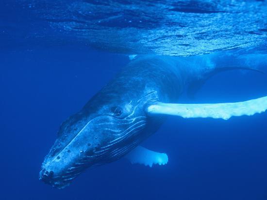 Humpback Whale-DLILLC-Photographic Print