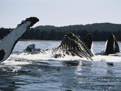 https://imgc.artprintimages.com/img/print/humpback-whales-frederick-sound-alaska-usa_u-l-p9mz6i0.jpg?p=0