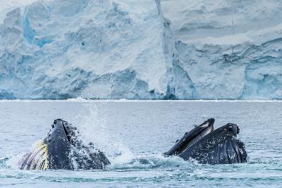 Humpback Whales Lunge Feeding Near Paradise Harbor, Antarctica-Ralph Lee Hopkins-Photographic Print