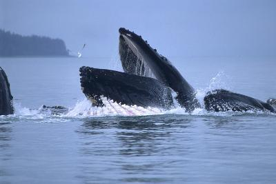 Humpback Whales Lunge Feeding-Design Pics Inc-Photographic Print