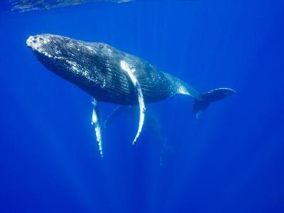 Humpback Whales Underwater-Paul Souders-Photographic Print