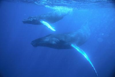 Humpback Whales-DLILLC-Photographic Print