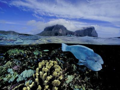Humphead Wrasse and Other Fish Swimming in a Coral Reef-David Doubilet-Photographic Print
