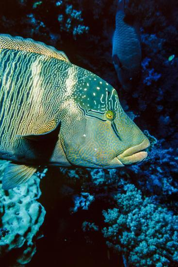 Humphead Wrasse with Soft Corals at Elphinstone Reef, Red Sea, Egypt-Ali Kabas-Photographic Print
