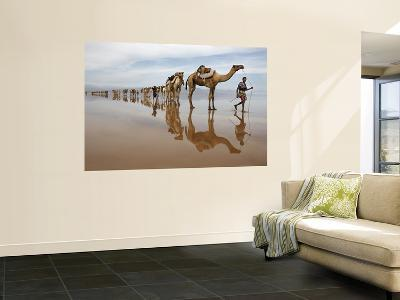 Hundreds of Camels Coming to Lake Asele to Collect Salt Block-Johnny Haglund-Wall Mural