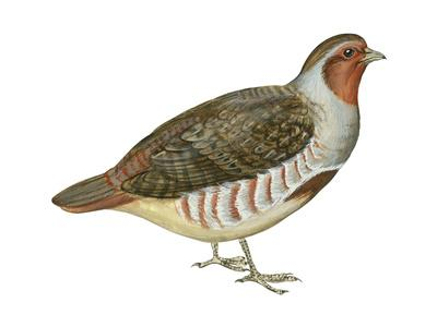 https://imgc.artprintimages.com/img/print/hungarian-partridge-perdix-perdix-birds_u-l-q135lh20.jpg?p=0