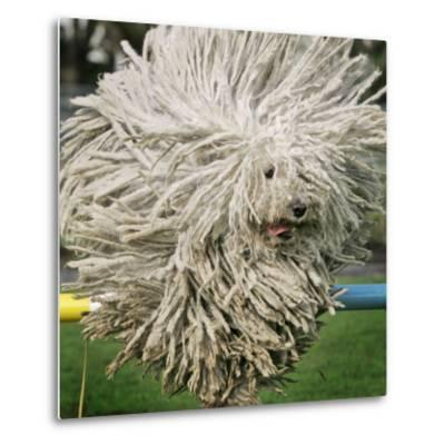Hungarian Puli Sheep Dog, Fee, Jumps over a Hurdle During a Preview for a Pedigree Dog Show