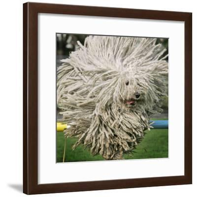 Hungarian Puli Sheep Dog, Fee, Jumps over a Hurdle During a Preview for a Pedigree Dog Show--Framed Photographic Print