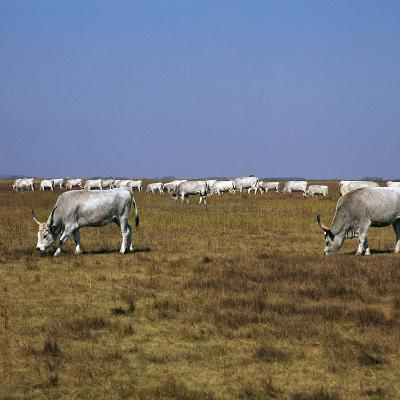 Hungarian White Cattle-CM Dixon-Photographic Print