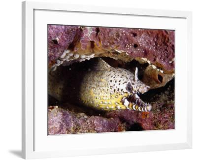 Hungry Dragon Morey Eel-Jeff Foott-Framed Photographic Print