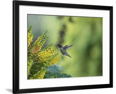Hungry Hummer-Nancy Crowell-Framed Photographic Print