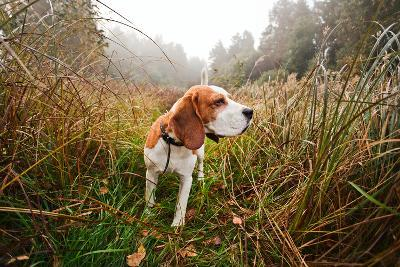Hunting Dog in the Foggy Morning in Forest-Igor Normann-Photographic Print