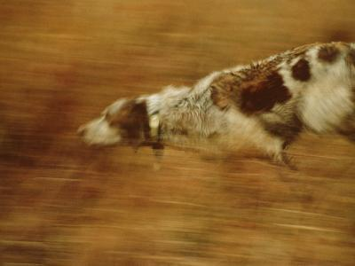 Hunting Dog Running-Joel Sartore-Photographic Print