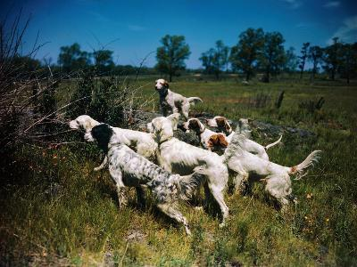Hunting Dogs on Point--Photographic Print