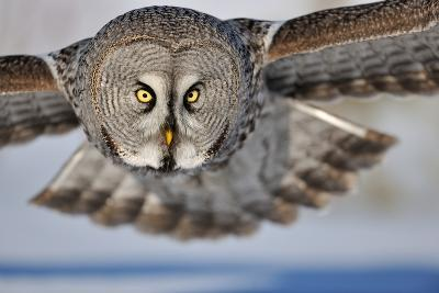 Hunting Great Grey Owl (Strix Nebulosa)-Yves Adams-Photographic Print