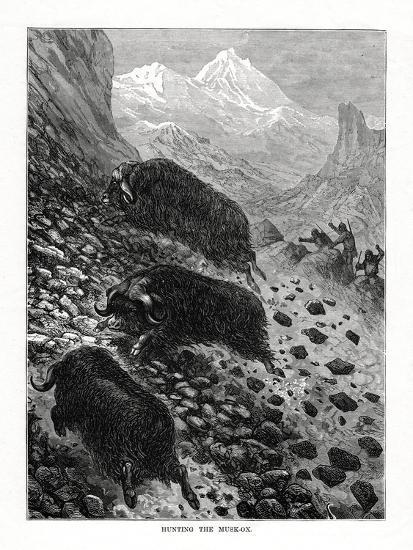 Hunting the Musk-Ox, 1877--Giclee Print