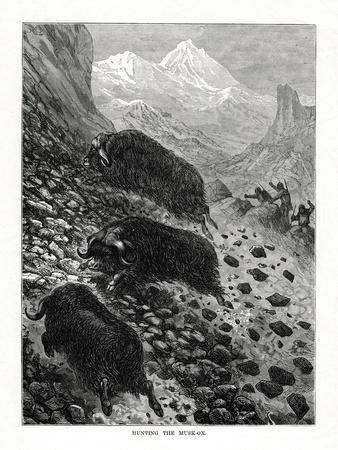 https://imgc.artprintimages.com/img/print/hunting-the-musk-ox-1877_u-l-ptl5vs0.jpg?p=0