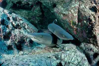 Hunting Whitetip Reef Sharks (Triaenodon Obesus), Central America, Pacific Ocean.-Reinhard Dirscherl-Photographic Print