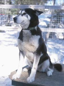 Husky Dog Sitting on Kennel