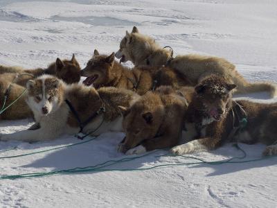 Husky Dog Team Resting, Qaanaaq Greenland-Louise Murray-Photographic Print