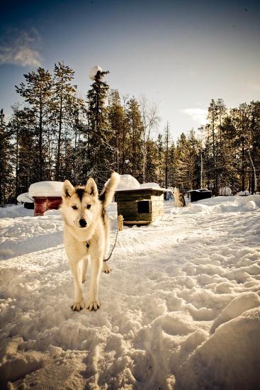 Husky Dog-Rebecca Lippett-Photographic Print