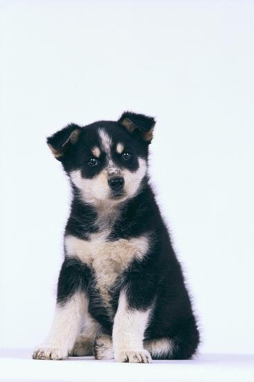 Husky Puppy-DLILLC-Photographic Print