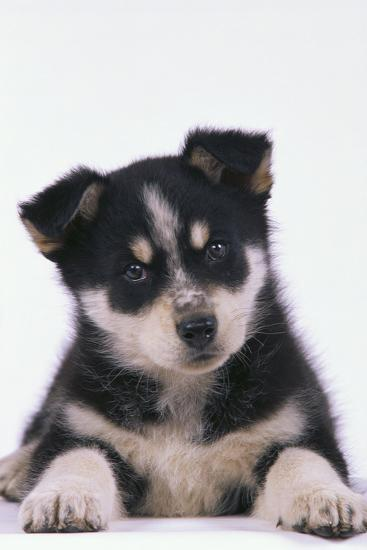 Husky Puppy-DLILLC-Photographic Print