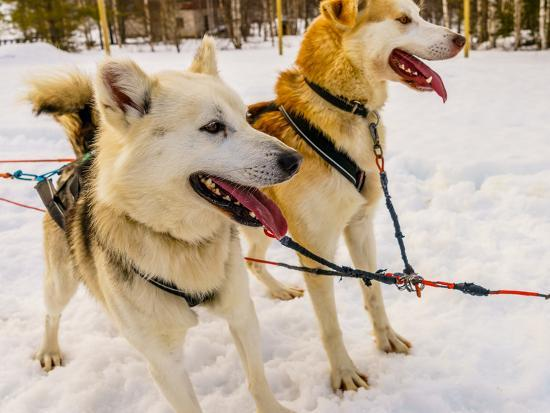 Husky sled dogs, Lapland, Finland--Photographic Print