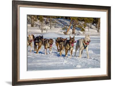 Husky sled dogs, Lapland, Sweden--Framed Photographic Print
