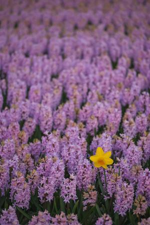 https://imgc.artprintimages.com/img/print/hyacinth-flower-fields-in-famous-lisse-holland_u-l-q12ytto0.jpg?p=0